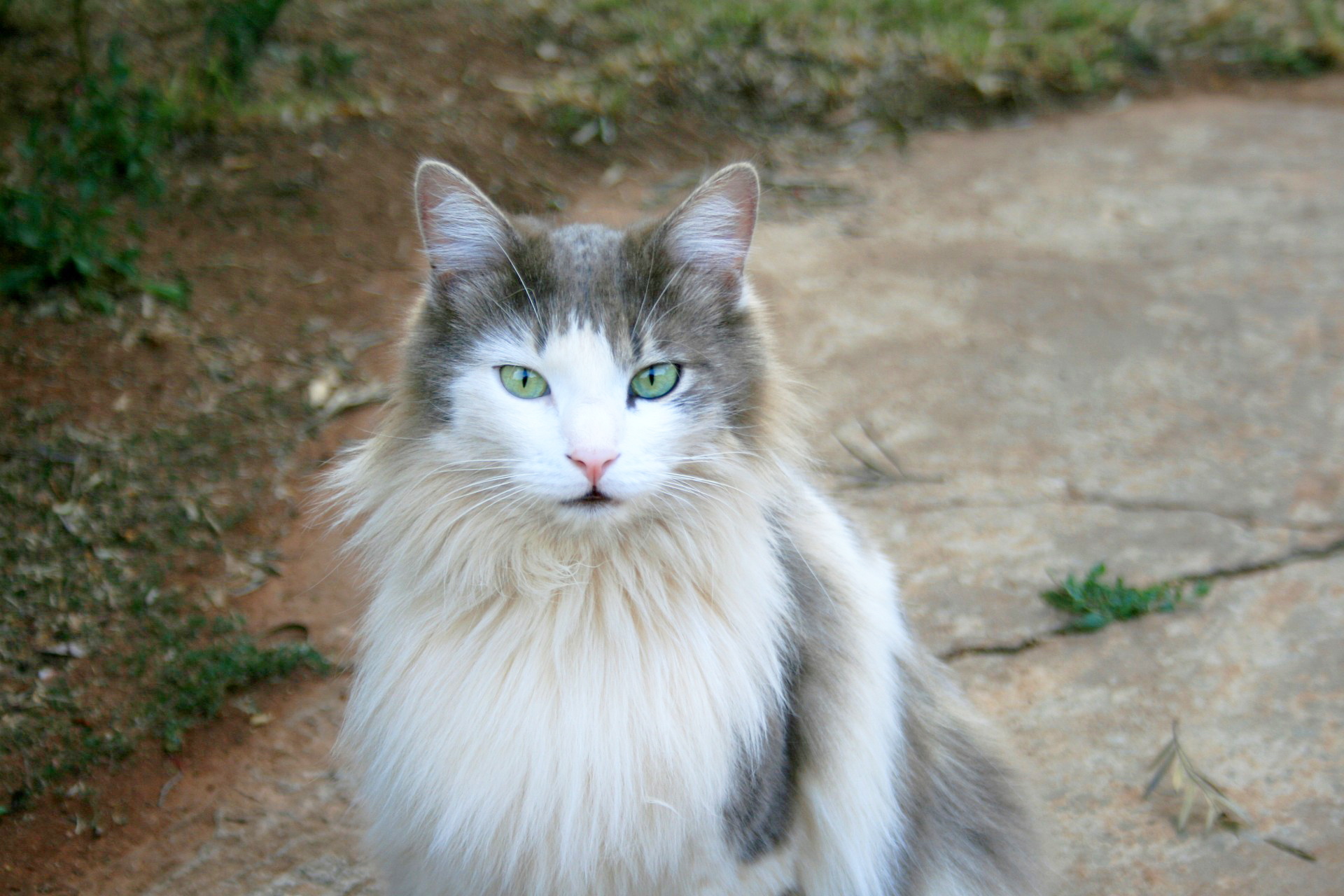 ragdoll-cat-with-green-eyes