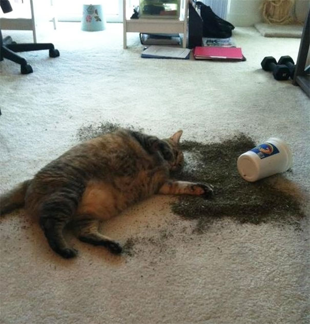funny-cats-catnip-24-594102e243308__605